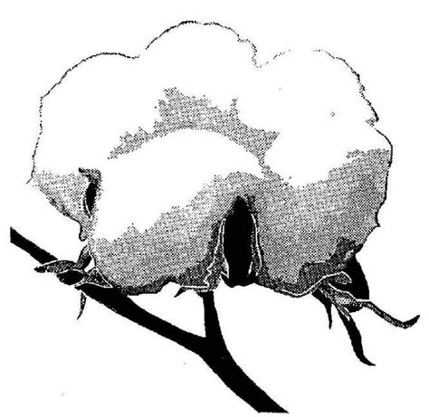 Best Photos Of Cotton Plant Coloring Pages Printable Cotton Coloring Page