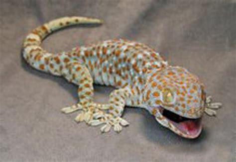 Tokek Ekor Bercabang tokek 60 kilo mencipta jutawan muda tokek gecko