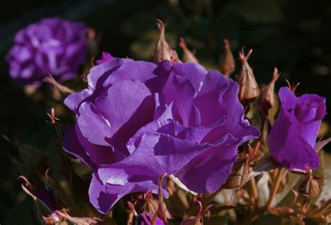 gambar bunga mawar warna ungu asli virusbirucom
