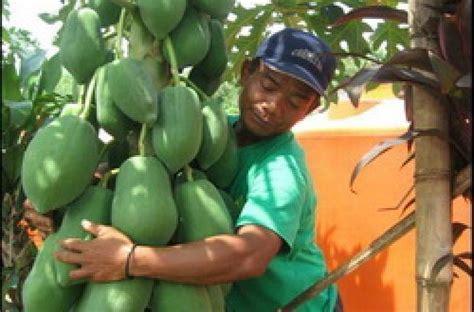 Bibit Semangka Kuning Non Biji bibit buah unggul yang tahan penyakit bibit