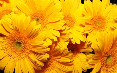 imagenes tumblr amarillas kukyflor fiestas tem 225 ticas a 241 o nuevo con flores amarillas