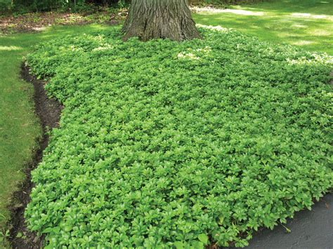 glorious ground covers state by state gardening web articles