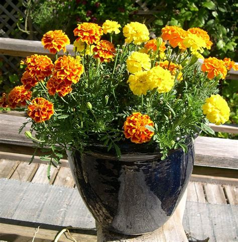 22 best flowers for sun heat tolerant flowers for