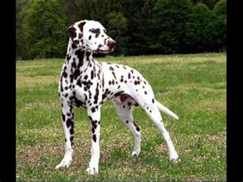 most loyal top 10 smartest breeds funnydog tv