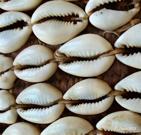 cowrie shell cowrie shells flickr photo