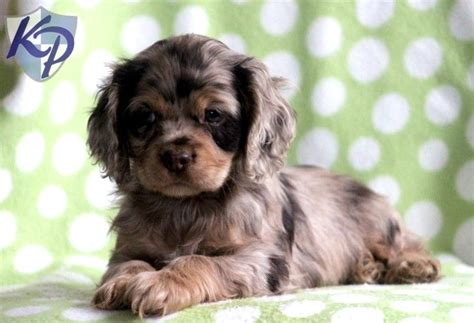cocker spaniel puppies for sale in pa 25 best ideas about cocker spaniel puppies on king charles cocker spaniel