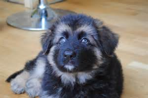 German Shepherd Puppies For Adoption » Home Design 2017
