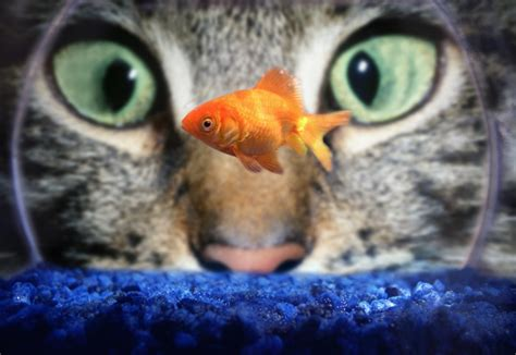 eat cat do cats eat goldfish how to stop cats from goldfish goldfish care