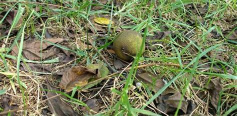 my christmas tree wont grow why won t anything grow my black walnut tree today s homeowner