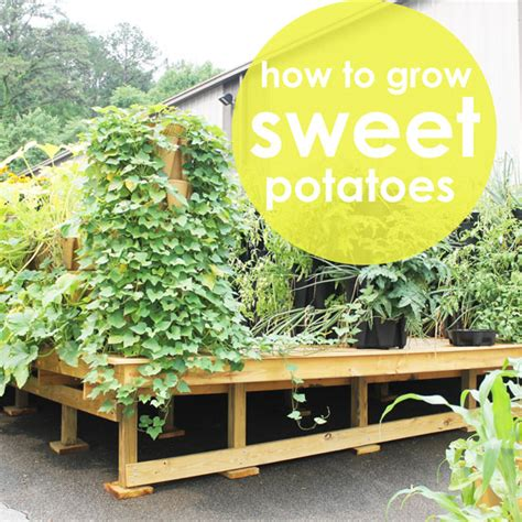 how to grow sweet potatoes vertically greenstalk