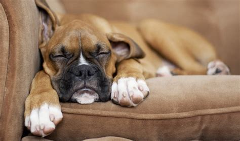 how to your boxer boxer breed information