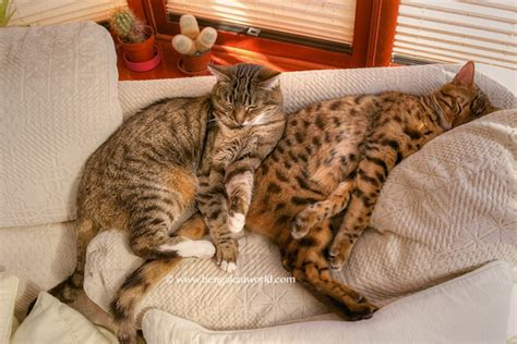 bengal cat size full grown about animals