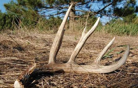 When Do Whitetail Deer Shed Their Antlers by When Do White Tailed Bucks Shed Their Antlers