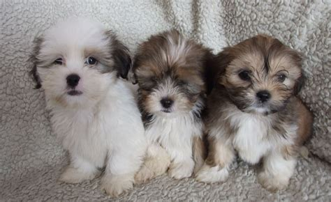lhasa apso dogs lhasa apso puppy for sale breeds picture