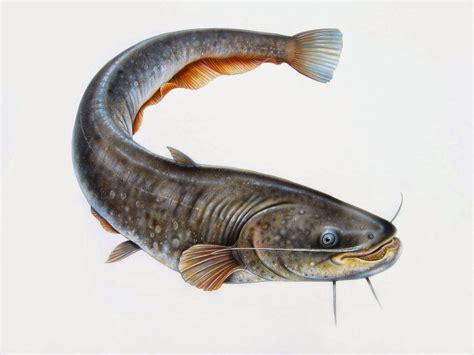 Pakan Ikan Lele Lokal lele juga menguntungkan rudi tamagochi