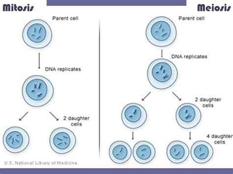 a diagram of meiosis mitosis vs meiosis plus oogenesis vs spermatogenesis