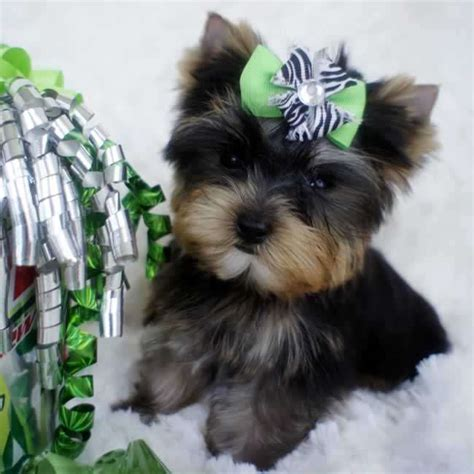 miniature teacup yorkies micro teacup yorkie for sale tiny marty teacup yorkies sale