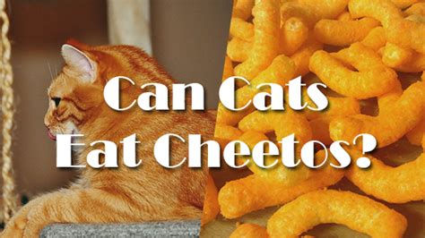 can dogs eat cheetos can cats eat cheetos pet consider