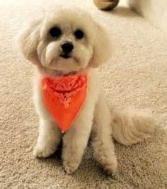 dog haircuts austin 1000 images about maltipoo cuts on pinterest dog