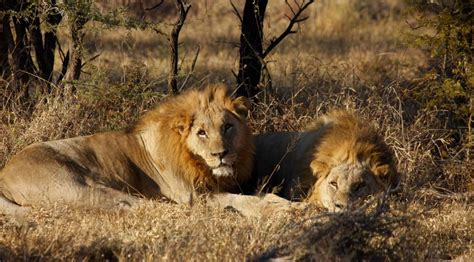 imagenes de leones macho y hembra un cazador furtivo devorado por leones en sud 225 frica