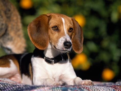 dogs 101 beagle american foxhound facts temperament puppies pictures