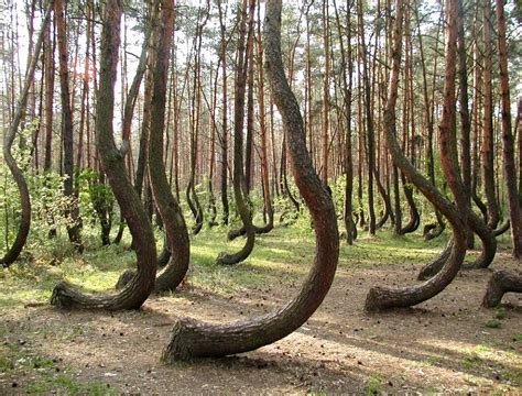 Crooked Forest Poland | the crooked forest of northwestern poland