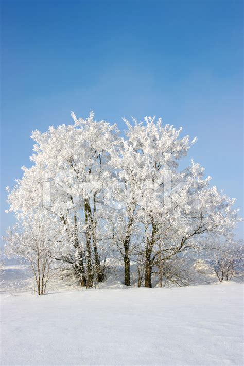 Tree Frosted - frosted trees stock photos freeimages