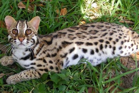 house cats that look like leopards asian leopard cats cats that look like leopards fallinpets