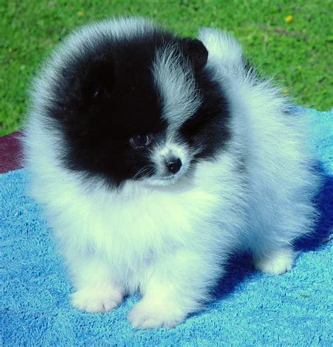 parti pomeranian puppies parti coloured pomeranians pomeranian breed facts care pictures