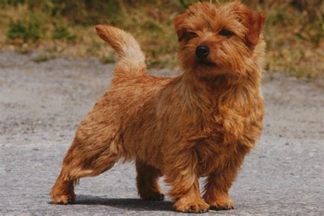 terrier puppies for sale norfolk terrier puppies for sale from reputable breeders