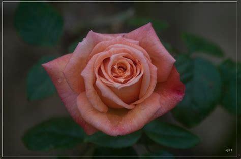 fiori rosa antico rosa antico foto immagini piante fiori e funghi foto
