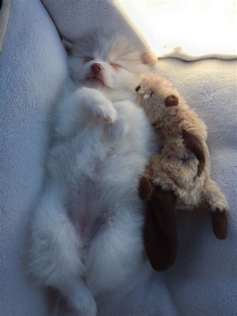 white pomeranian baby 17 best ideas about white pomeranian on teacup dogs pomeranians and