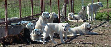 sheep guard dogs a m agrilife
