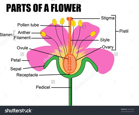 which body section contains the reproductive structures on a beetle male reproductive system of a flower human body anatomy