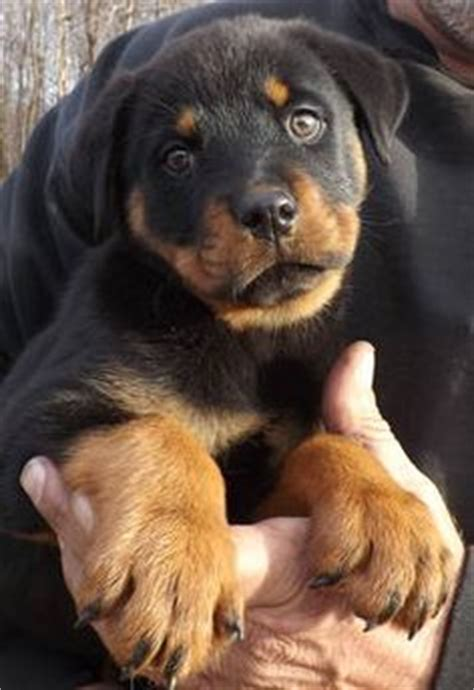 what were rottweilers bred to do rottweilers rottweilers for sale heads world class rottweiler pups