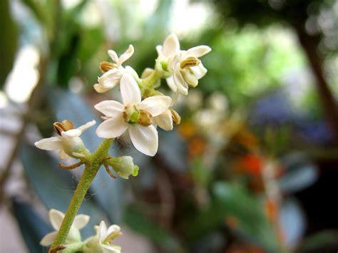 fiori di ulivo olivo concimi per cura piante di olivo ilsa s p a
