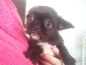 Shih tzu mix puppies shih tzu x chihuahua pups for