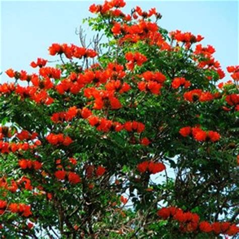 Jual Bibit Bunga Flamboyan jual pohon flamboyan harga terjangkau jual bibit tanaman