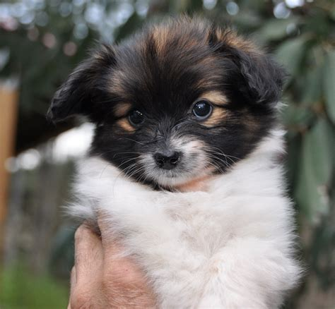 papillon breeders papillon rescued and puppies for sale