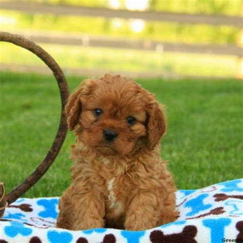 cavapoo puppies cavapoo puppies for sale cavapoo breed info greenfield puppies
