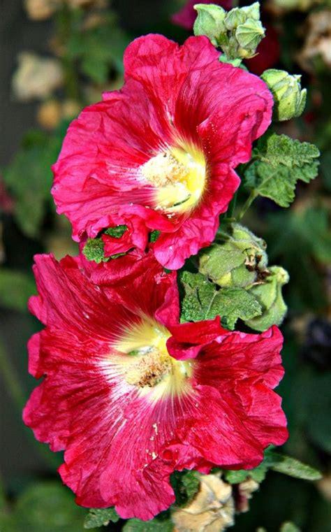 poisonous backyard plants 8 best poisonous plants images on pinterest backyard