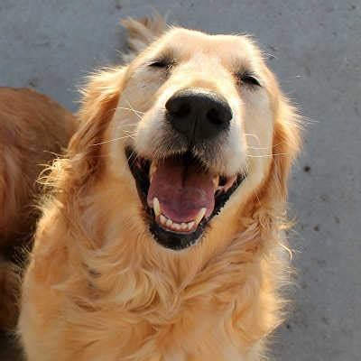 ragom golden retriever rescue 1000 images about adoptable goldens on adoption other and golden