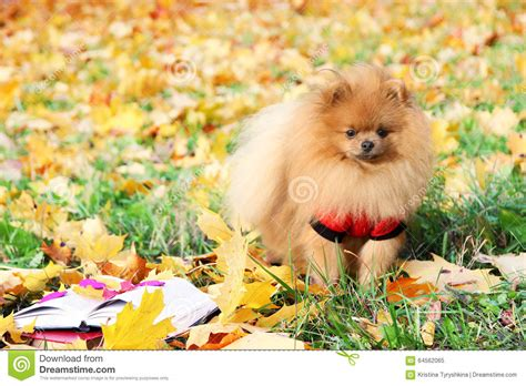 pomeranian book clever with a book pomeranian in autumn park with book stock photo image