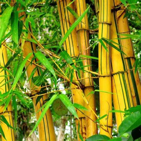 Jual Bibit Bambu Kuning Jogja jual jual bambu kuning jualone