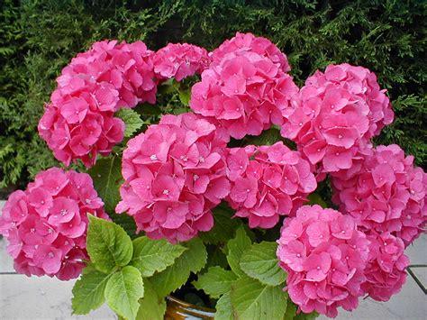 imagenes flores hortensias conoce las plantas hortensia hydrangea sp