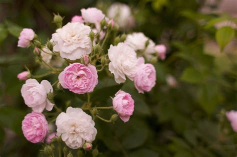 How To Take Care Of Roses In A Vase by Growing Roses For Beginners How To Take Care Of Roses
