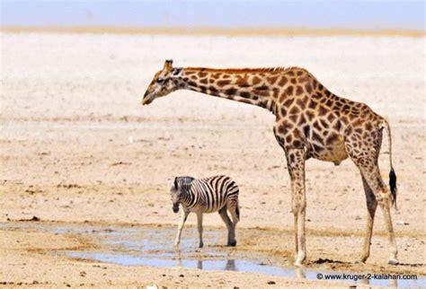 google images giraffe giraffe and zebra friends google search 01 hoofed