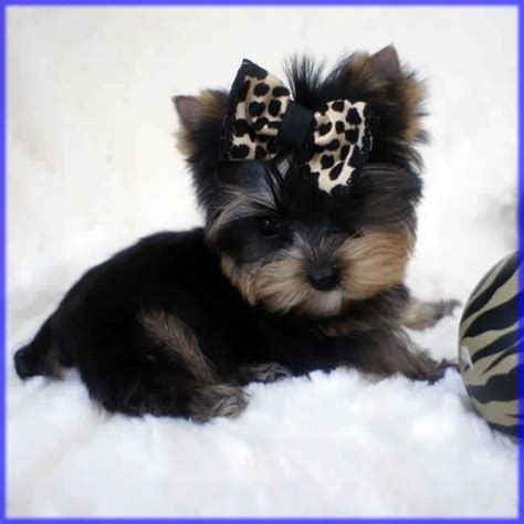 tracup yorkie yorkies for sale micro teacup yorkie tiny marty