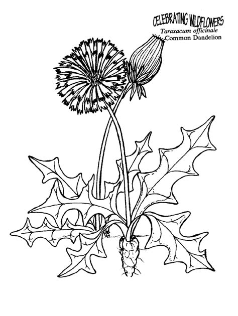 free herb rosemary coloring pages