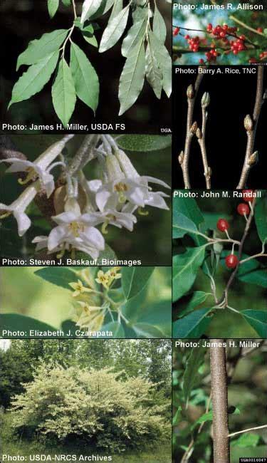 autumn olive northwest michigan invasive species network